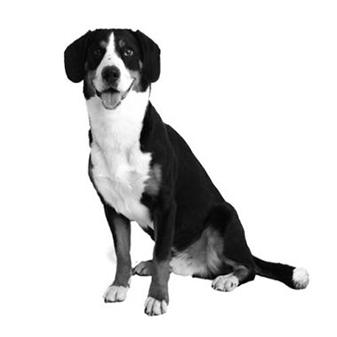 Dando Trieba Bürohund